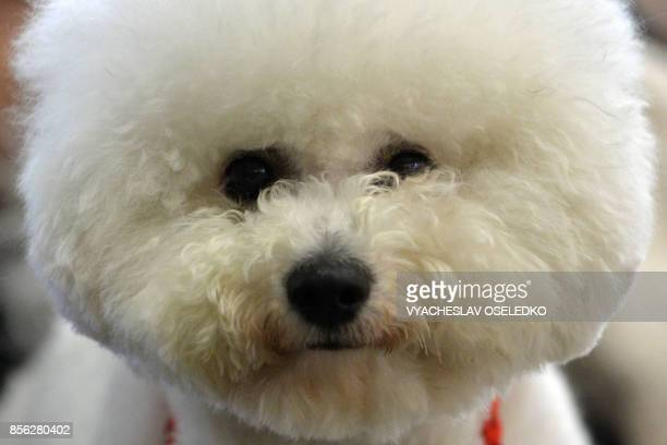 A Bichon Frise dog is pictured during the International dog exhibition in Bishkek on October 1 2017 Dog breeders from Russia Kazakhstan and...