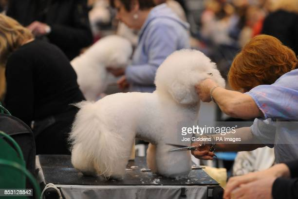 A Bichon Frise dog is preened ready for competition during day three of Crufts 2014 at the NEC Birmingham