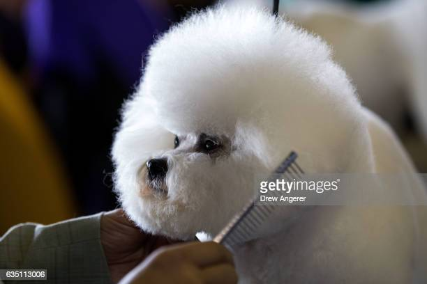 Bichon Frise is groomed backstage at the 141st Westminster Kennel Club Dog Show February 13 2017 in New York City There are 2874 dogs entered in this...