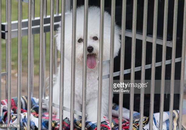 Bichon Frise looks out of its cage as it arrives on the second day of Crufts Dog Show at the NEC Arena on March 10 2017 in Birmingham England First...