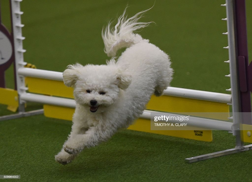 A Bichon Frise runs the agility course during the 3rd Annual Masters Agility Championship on February 13, 2016 in New York, at the 140th Annual Westminster Kennel Club Dog Show. Dogs entered in the agility demonstrate skills required in the challenging obstacles that they will need to negotiate. / AFP / Timothy A. CLARY