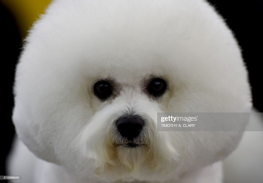 A Bichon Frises waits in the grooming area February 15 2016 in New York during the first day of competition at the Westminster Kennel Club 140th...