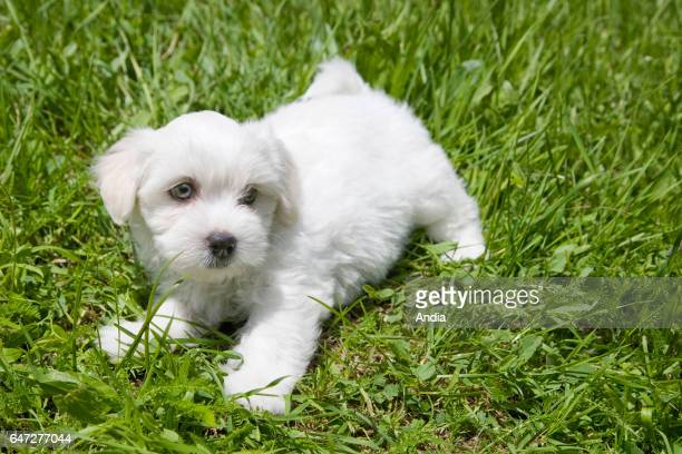 Bichon puppy playing in the grass