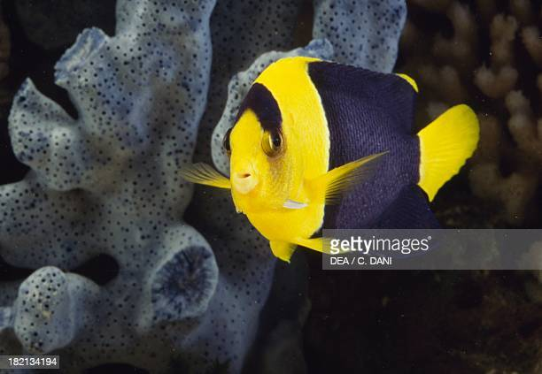 Bicolor angelfish or Oriole angelfish Chaetodontidae in aquarium