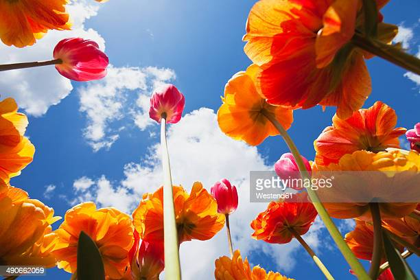 Bicoloured tulips (Liliaceae Tulipa) view from below into sky