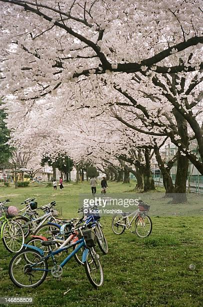 Bicycle under cherry trees