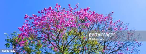 Big and beautiful pink trumpet tree.