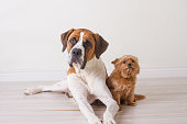 Extra Large Saint Bernard dog and small little yorki posing for a picture