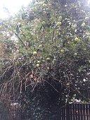 Big apple tree with big stump