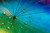 Dandilion dew drops