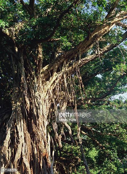 Big banyan tree, Yakushima, Japan