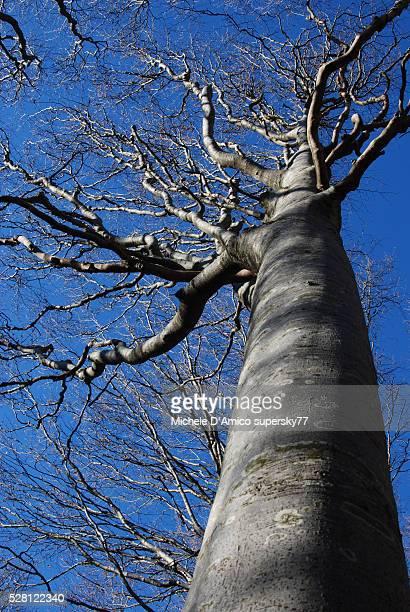 Big beech tree in winter