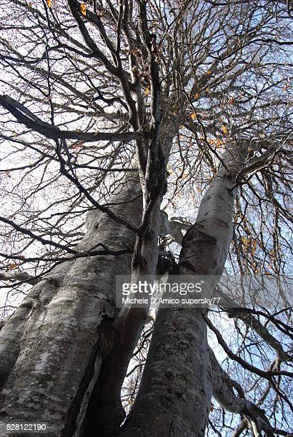 Big beech trees in winter