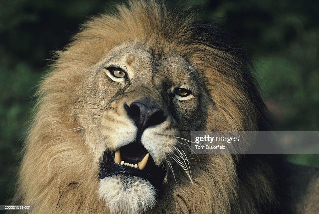 Big black-maned male African lion, headshot, Africa : Stock Photo