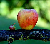 Two apples from own garden, Göztis, Sony Alpha 500, Tamron 90mm