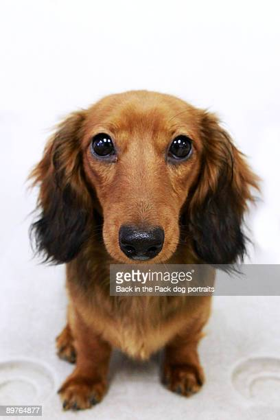 Big brown eyed puppy wiener dog