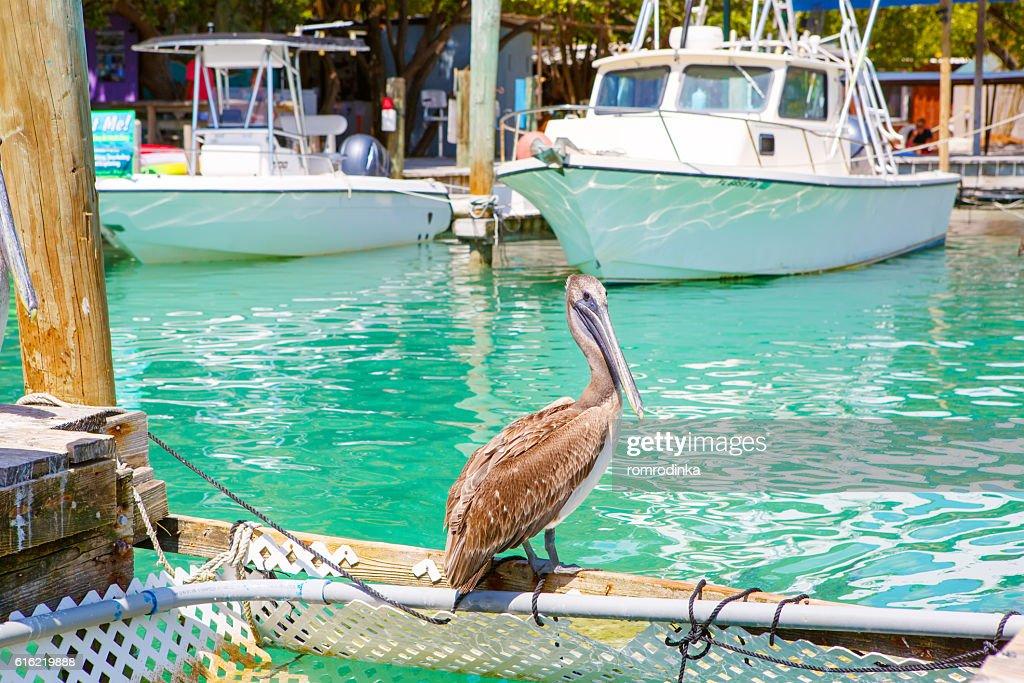 Big brown pelicans in Islamorada, Florida Keys : Stock Photo