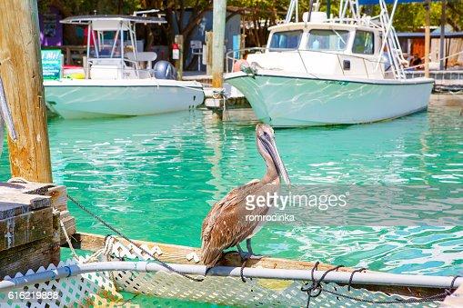 大きなブラウン・ペリカンズアイラモラーダで、フロリダのキー : ストックフォト