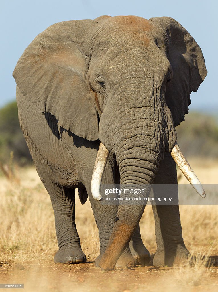 Big bull in musth : Stock Photo
