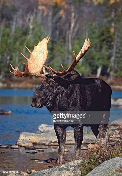 Moose Stock Photos And Pictures Getty Images