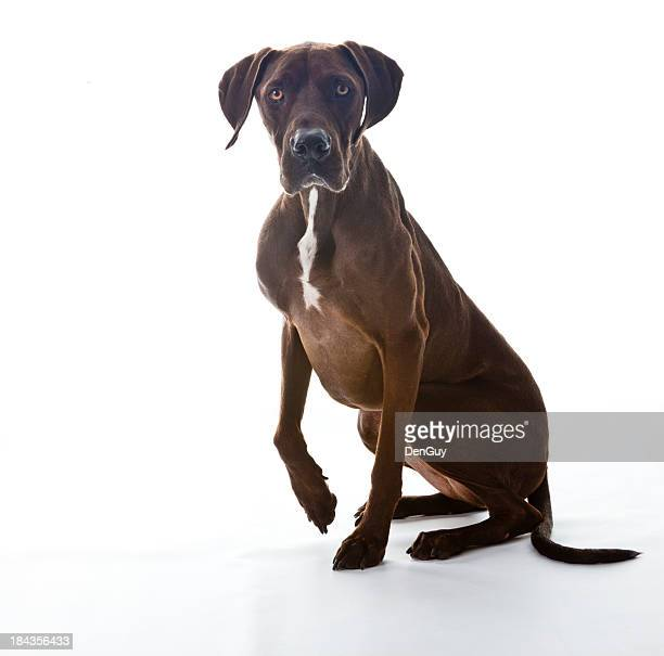 Big Chocolate Labrador Retriever Mix on White Background