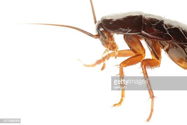 Big Cockroach (XXXL)