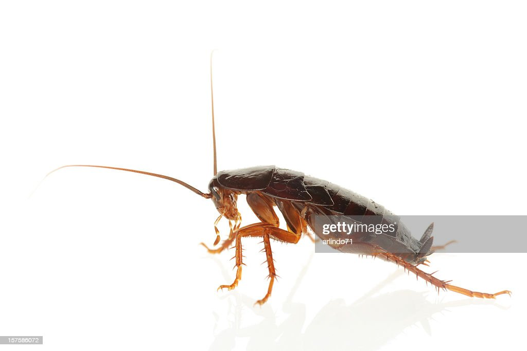 Big Cockroach (XXXL) : Stock Photo