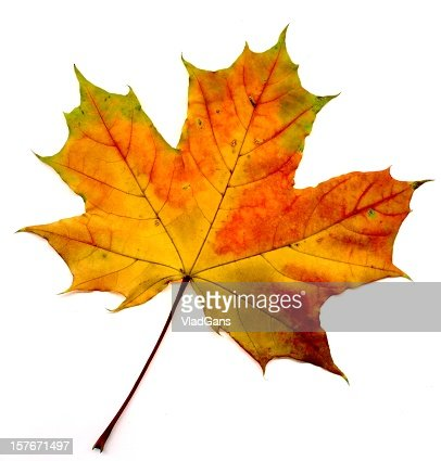 Big collection  autumnal maple leaf