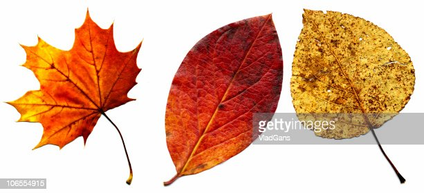 big collection of autumnal leaf