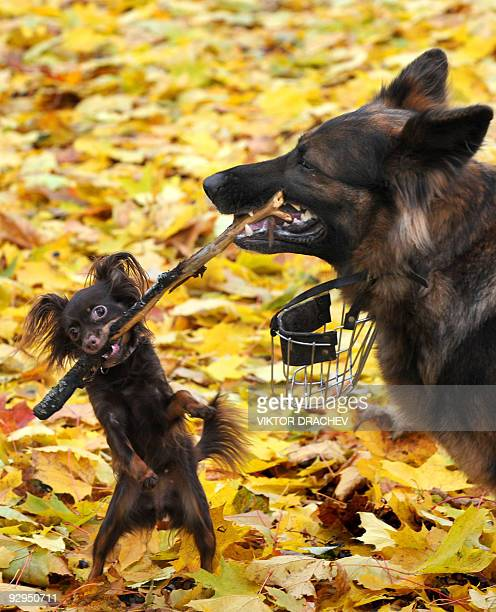 A big dog frolics with a little dog in the yellow leaves of a central Minsk park on October 20 2009 Belarussians and their pets are enjoying crisp...