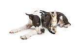 Large mixed breed dog lying down with a cute small kitten