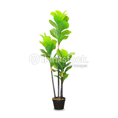 Big dracaena palm in a pot isolated over white : Stock Photo