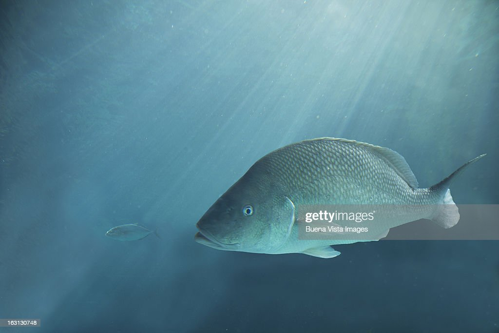 Big fish after a small fish : Stock Photo
