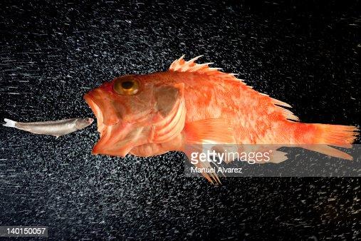 Small fish big fish foto e immagini stock getty images for Big fish eat small fish