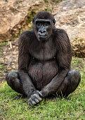 Big Gorilla sits on the grass