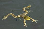 Big green frog (American Bullfrog) floating on the water