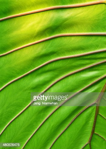 big green leaf : Stockfoto