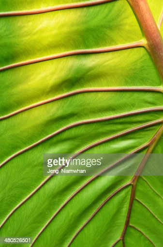 big green leaf : Stock Photo