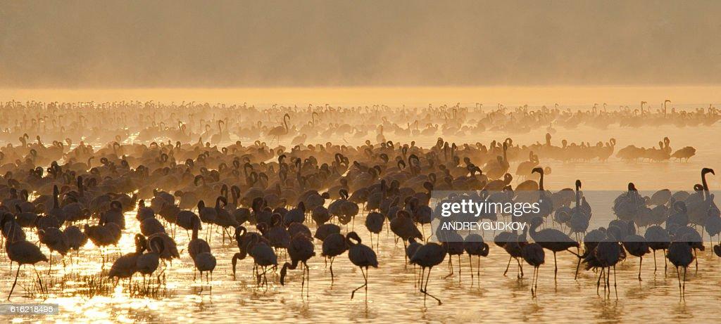 Big group flamingos on the lake. Kenya. : ストックフォト