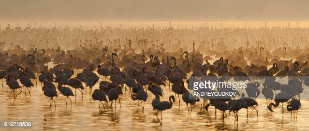 Big group flamingos on the lake. Kenya. : Bildbanksbilder