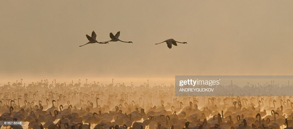 Big group flamingos on the lake. Kenya. : Stock-Foto