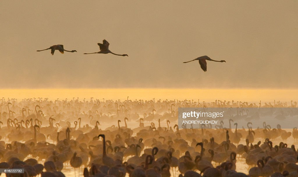 Big group flamingos on the lake. Kenya. : Stock-Foto