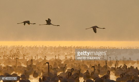 Big group flamingos on the lake. Kenya. : Stock Photo