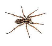 A very large Wolf spider, overheadview , symmetrical pose.