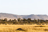 Big herd of african buffalo in the savanna of Masai Mara. Kenya, Africa