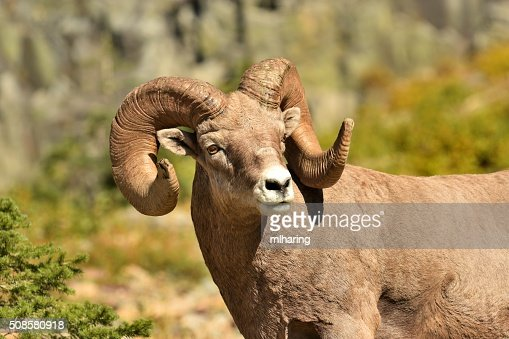 Big-Horn-Ram : Stock-Foto