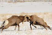 a pair of Rams fight for dominance near Gardiner, Montana