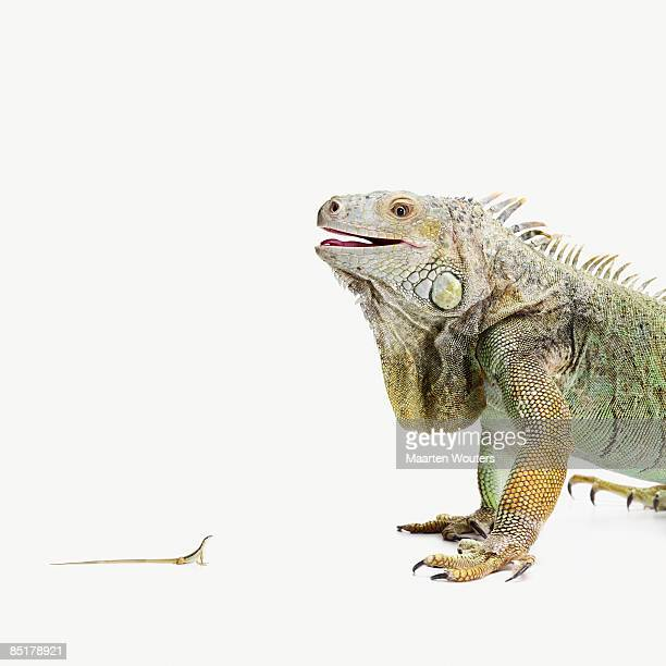 big iguana looking at a little lizard