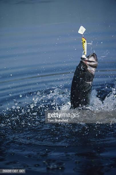 Big largemouth bass jumping