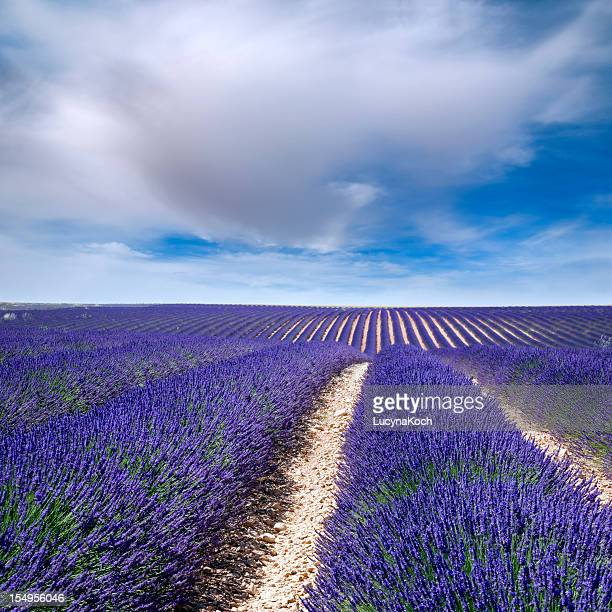 Big champ de lavande en Provence